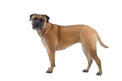 Perro del mastín de Bull Imágenes de archivo libres de regalías