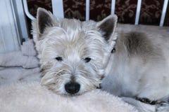 Perro del oeste blanco soñoliento de Terrier de la montaña que necesita un baño dentro por la puerta del perro imágenes de archivo libres de regalías
