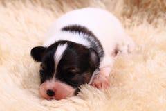 perro del papillon recién nacido foto de archivo
