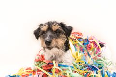 Perro del partido Jack Russell listo para el carnaval imagenes de archivo