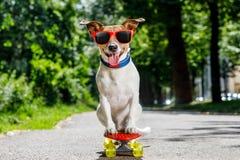 Perro del patinador en el monopatín Fotografía de archivo libre de regalías