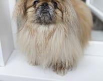 Perro del pekinés fotografía de archivo