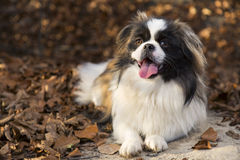 Perro del pekinés Fotos de archivo libres de regalías