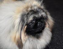 Perro del pekinés imagen de archivo libre de regalías