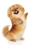 Perro del pekinés delante del fondo blanco imagen de archivo