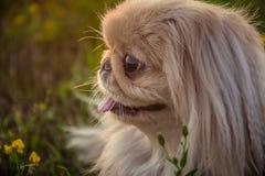 Perro del pekinés en la naturaleza Imagenes de archivo