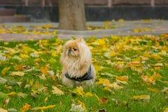 Perro del pekinés en la naturaleza Foto de archivo libre de regalías