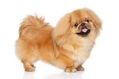Perro del pekinés en soporte imagen de archivo