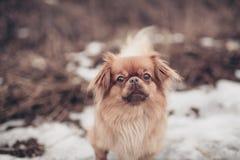 Perro del pekinés que presenta en un fondo del invierno de la naturaleza que camina al aire libre imagenes de archivo