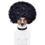 Perro del pelo de la mirada del Afro divertido Imagen de archivo libre de regalías