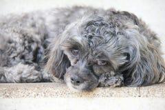 Perro del pelo negro Imagen de archivo libre de regalías
