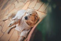 Perro del perro perdiguero de oro fotografía de archivo libre de regalías