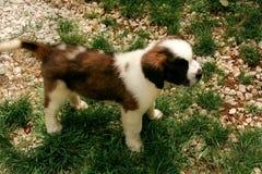 Perro del perrito de St Bernard pequeño en la hierba imagen de archivo