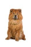 Perro del perro chino de perro chino Fotografía de archivo libre de regalías