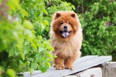 Perro del perro chino de perro chino de Brown que se coloca en un banco imagen de archivo