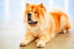 Perro del perro chino de perro chino de los lomos de Brown Imagenes de archivo