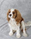 Perro del perro de aguas Fotografía de archivo libre de regalías