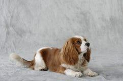 Perro del perro de aguas Imagen de archivo libre de regalías