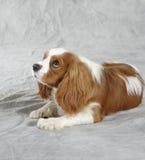 Perro del perro de aguas Imagen de archivo