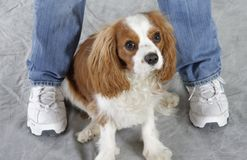 Perro del perro de aguas Foto de archivo libre de regalías