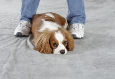 Perro del perro de aguas Foto de archivo