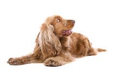 Perro del perro de aguas de cocker fotos de archivo