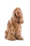 Perro del perro de aguas de cocker fotografía de archivo libre de regalías