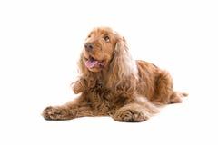 Perro del perro de aguas de cocker imagen de archivo