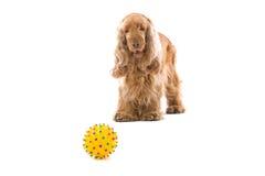 Perro del perro de aguas de cocker con el juguete Imagen de archivo libre de regalías