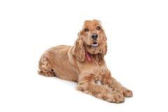 Perro del perro de aguas de cocker de Brown fotos de archivo