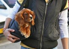 Perro del perro de aguas de cocker en el bolso fotografía de archivo