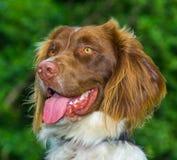 Perro del perro de aguas de saltador Fotos de archivo