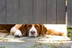 Perro del perro de aguas de saltador inglés que miente abajo mirando bajo puerta Imágenes de archivo libres de regalías