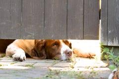 Perro del perro de aguas de saltador inglés que miente abajo mirando bajo puerta Fotos de archivo libres de regalías