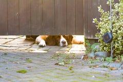 Perro del perro de aguas de saltador inglés que miente abajo mirando bajo puerta Imagen de archivo