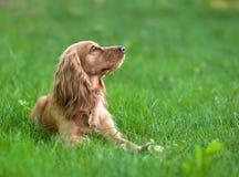 Perro del perro de aguas en la hierba Fotografía de archivo libre de regalías