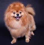 Perro del perro de Pomerania fotografía de archivo libre de regalías