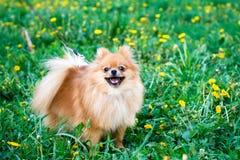 Perro del perro de Pomerania imagen de archivo libre de regalías