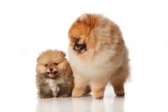 Perro del perro de Pomerania de Pomeranian con su puppie Imágenes de archivo libres de regalías