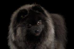 Perro del perro de Pomerania de Pomeranian en negro Fotos de archivo