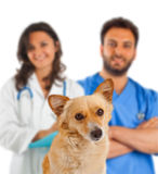 Perro del perro de Pomerania en el fondo blanco Imagen de archivo libre de regalías