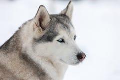 Perro del perro esquimal siberiano Foto de archivo libre de regalías