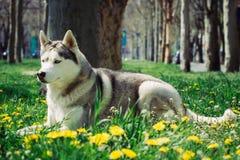 Perro del perro esquimal siberiano Fotografía de archivo libre de regalías