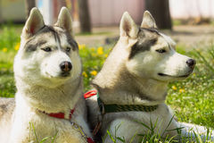 Perro del perro esquimal siberiano Fotografía de archivo