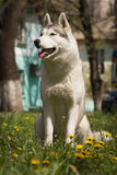 Perro del perro esquimal siberiano Fotos de archivo libres de regalías