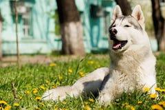 Perro del perro esquimal siberiano Foto de archivo