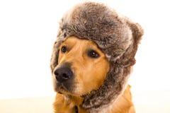 Perro del perro perdiguero de Goden con el casquillo divertido de la piel del invierno Imagen de archivo libre de regalías