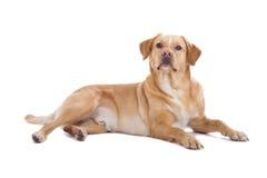 Perro del perro perdiguero de Labrador Imágenes de archivo libres de regalías