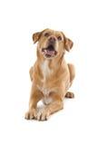 Perro del perro perdiguero de Labrador imagen de archivo libre de regalías