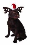 Perro del perro perdiguero de Labrador del chocolate Fotografía de archivo